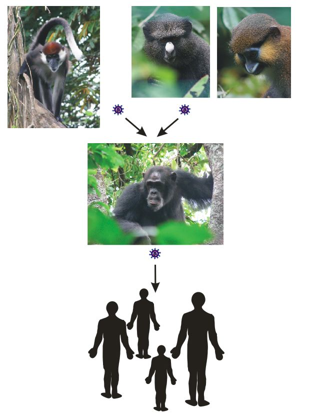 Origin of HIV-1. Simian immunodeficiency viruses infecting chimpanzees arose by recombination of viruses now found in red-capped mangabeys and Cercopithecus monkeys and were subsequently transmitted to humans.