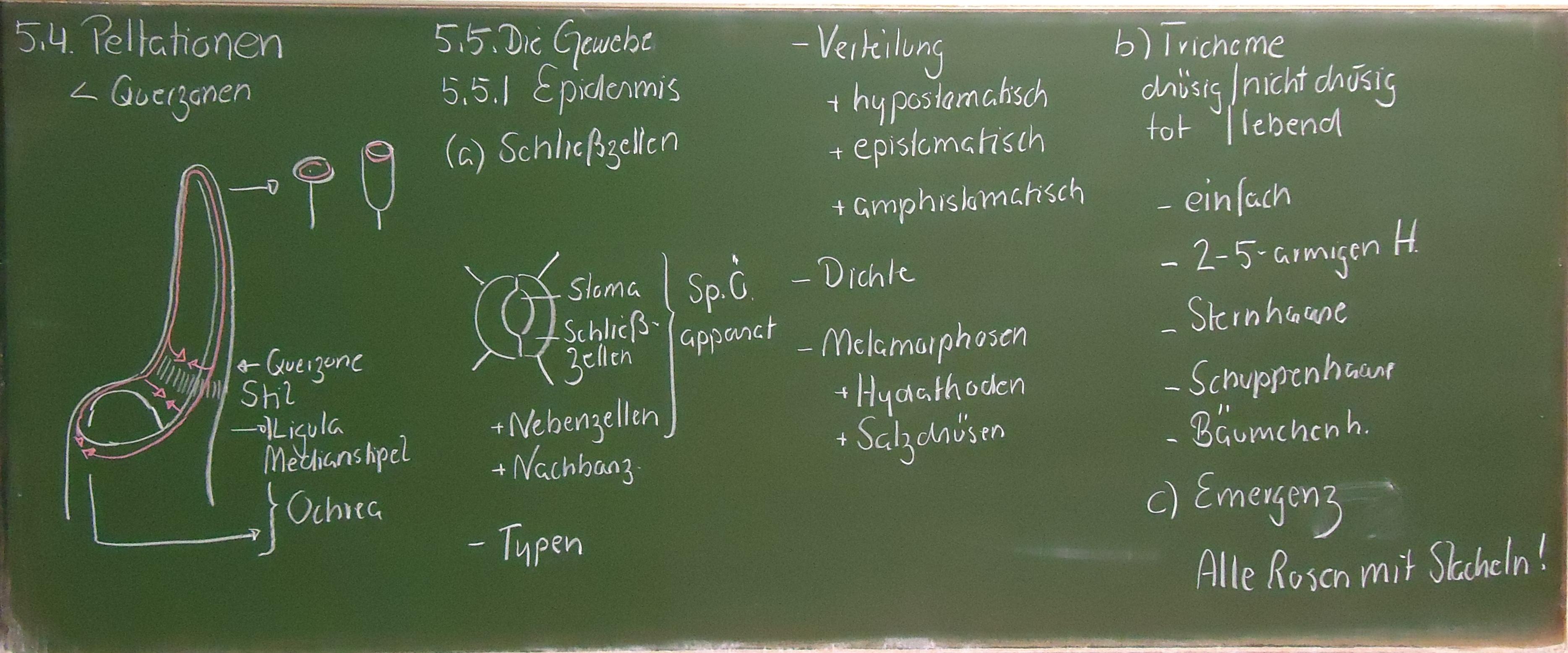 5. Anatomie des Blattes - Ulm University
