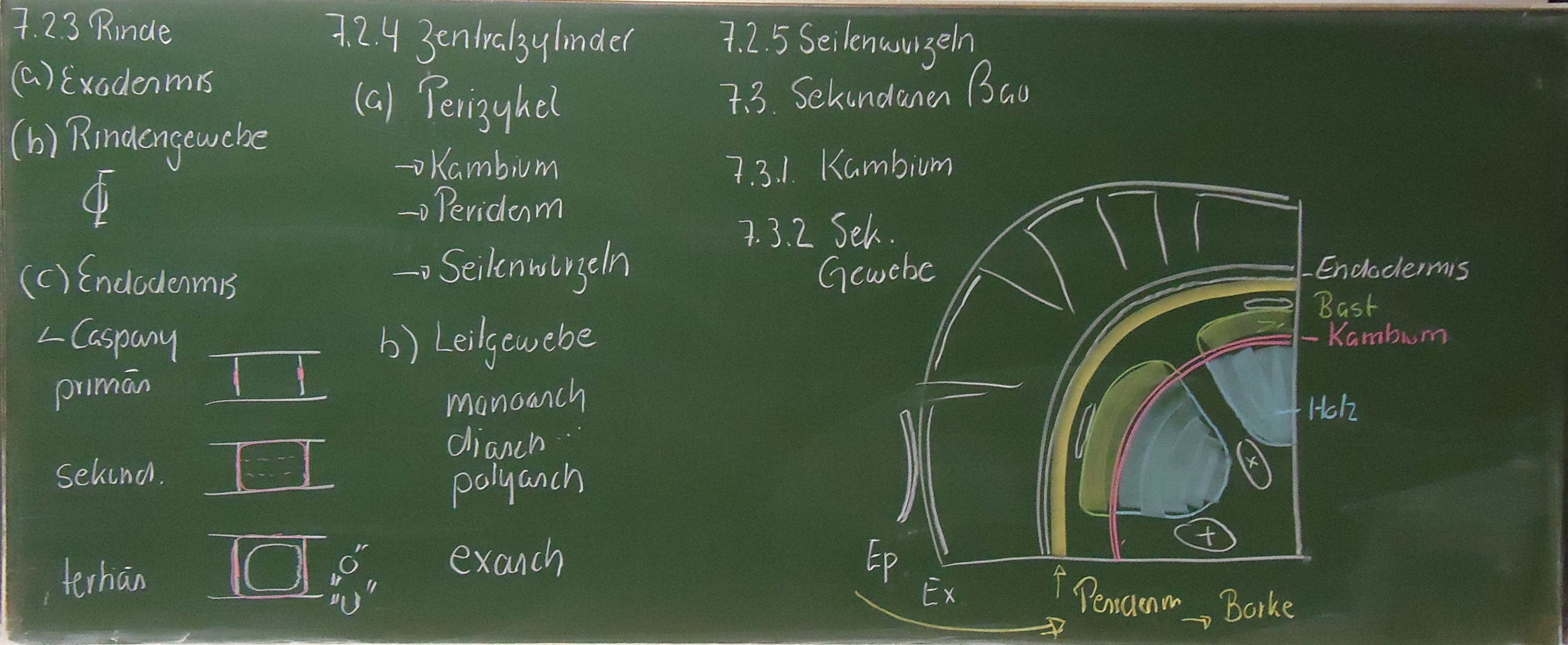 7. Anatomie der Wurzel - Ulm University