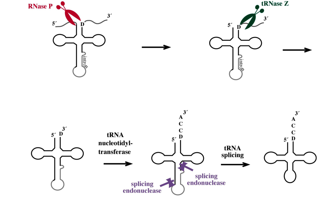 The maturation steps required to generate a functional tRNA molecule are shown. The precursor contains additional sequences which have to be removed by endonucleases (RNase P, splicing endonuclease and tRNase Z) and the CCA sequence has to be added to the tRNA 3´ end by the nucleotidyl transferase.