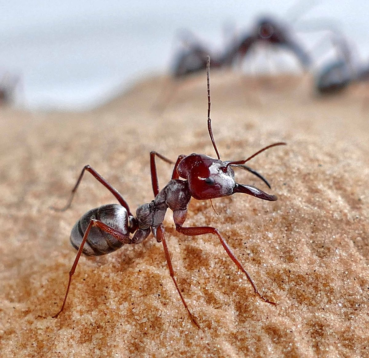 Saharan silver ant (Cataglyphis bombycina) workers at the nest entrance. (Photo: Harald Wolf)