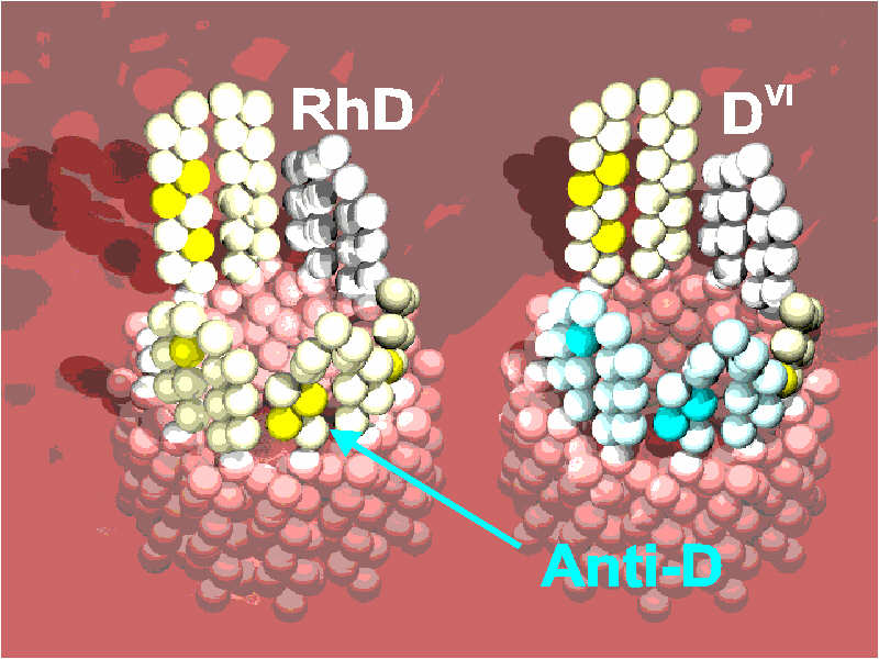 Schematic representation of the antigen D on the red blood cell´s surface