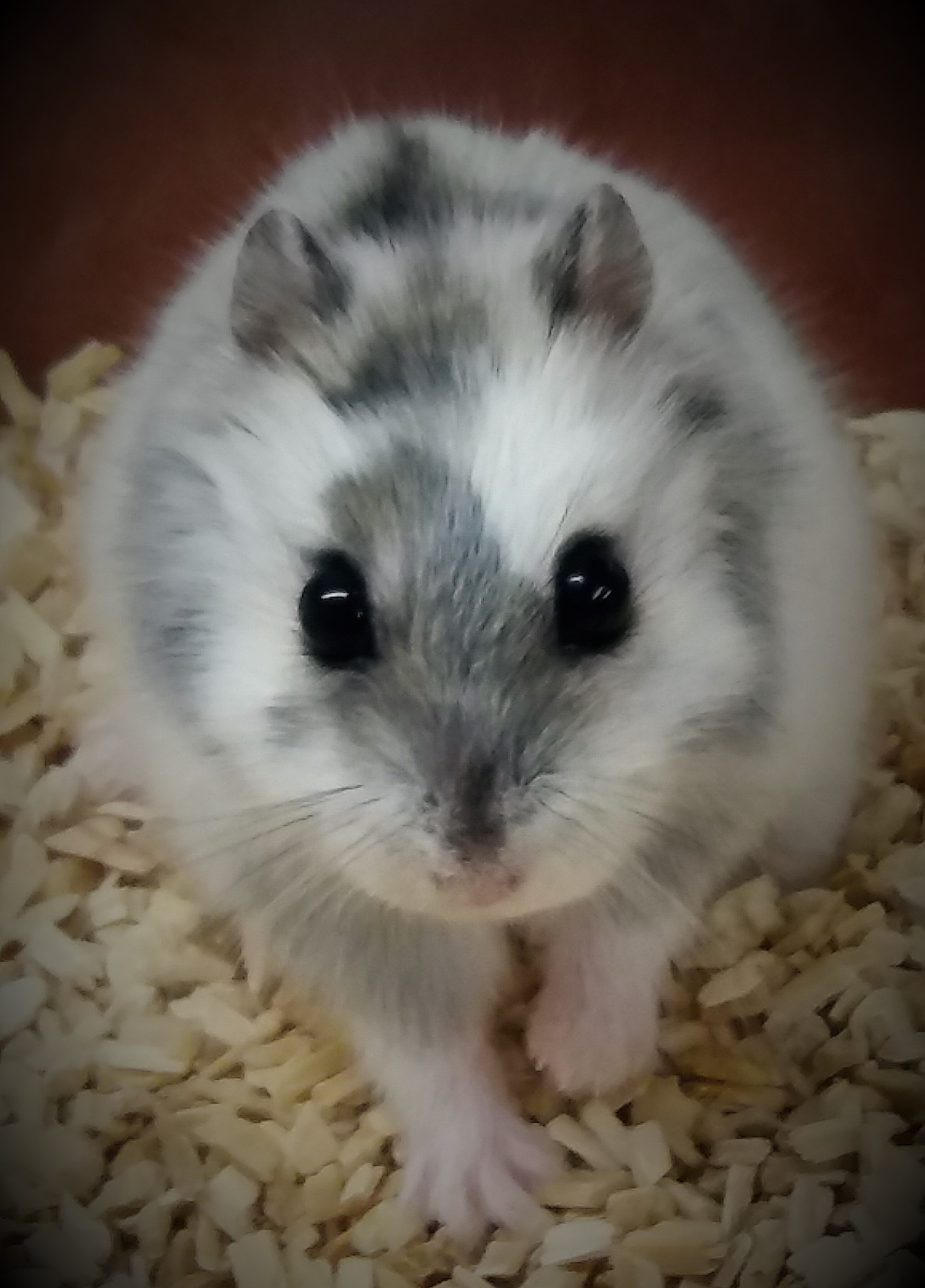 Djungarian hamster during the seasonal moult from the white, well-insulating winter fur to the gray-brown summer fur. In contrast to the moult from summer to winter transition, this fur change from winter to summer is very unstructured and  leaves the  hamsters look like motley cows