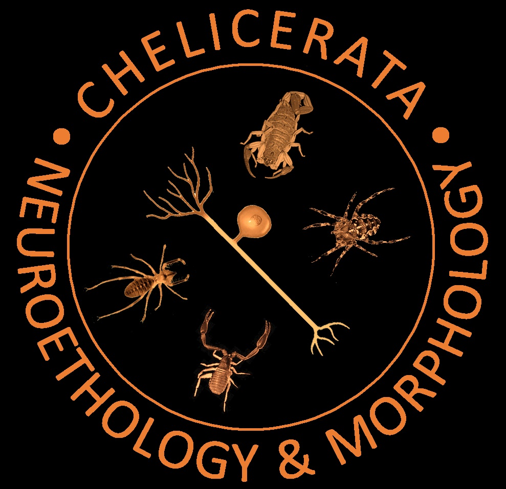 We work on the Neuroethology and Morphology in different taxa of chelicerates